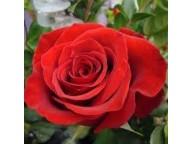 Роза Дамасская свойства