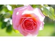 Абсолют Дамасской Розы