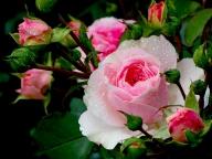 Роза в медицине