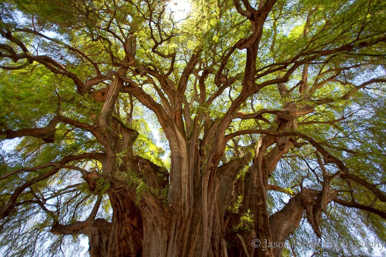 Масло дерева Уд