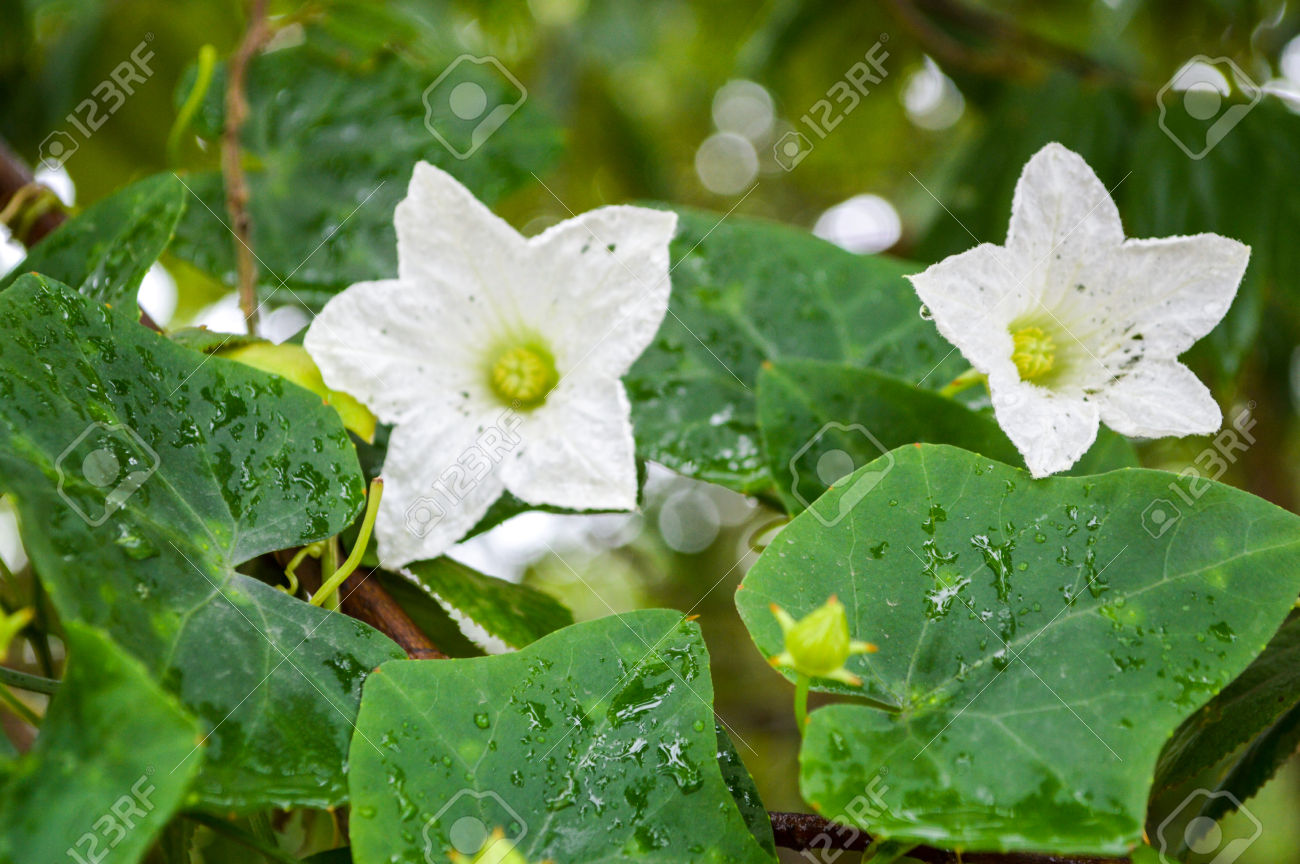 Цветок плющ фото и названия